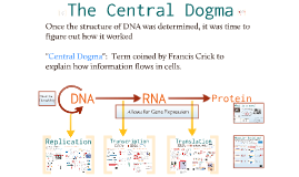 DNA Replication and Transcription/Translation Notes