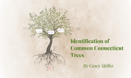Copy of Identification of Common Connecticut Trees