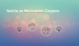 Nutria or Myocaster Coypus