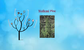 Copy of Wollemi Pine