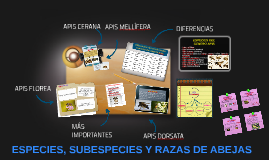 Copy of ESPECIES, SUBESPECIES Y RAZAS DE ABEJAS