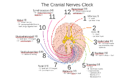 Copy of The Cranial Nerves Clock