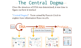 Copy of AP Bio- Molecular Genetics 2:  The Central Dogma