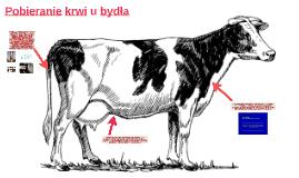 Pobieranie krwi u bydła
