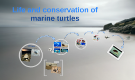 Working with marine turtles