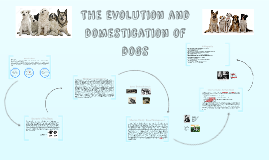 Copy of The Evolution of siberian huskies