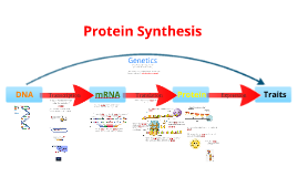Protein synthesis essay