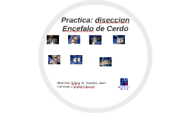 Copy of Practica: diseccion Encefalo de Cerdo