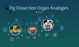 Pig Dissection Organ Analogies