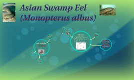 Copy of Asian Swamp Eel (Monopterus albus)
