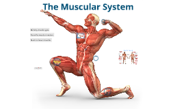 Level 1 Introduction to the Muscular System