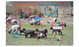 Copy of Estrategias para disminuir la mortalidad en corderos