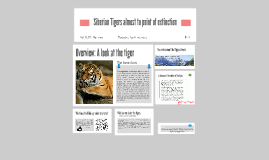 Siberian Tigers almost to point of extinction!