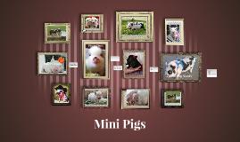 Mini Pigs