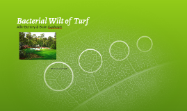Bacterial Wilt of  Turf
