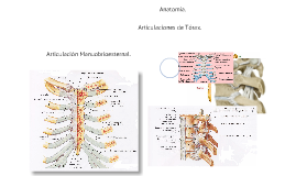 Articulaciones de tórax