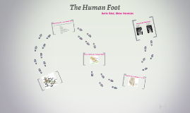 The Human Foot