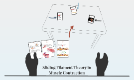 Sliding Filament Theory in Muscle Contraction