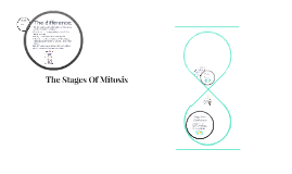 The Stages Of Mitosis