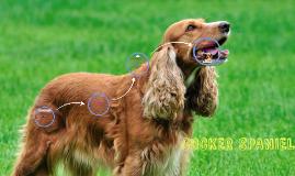 El Cocker spaniel inglés es una raza de perro originaria de