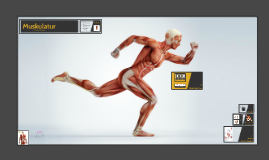 Copy of Anatomie der Muskulatur
