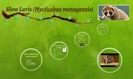 Copy of Slow Loris (Nycticebus menagensis)