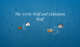 The Arctic Wolf and Ethiopian Wolf