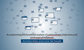An anatomical and functional analysis of corticostriatal pro