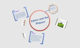 The Xylem and Phloem