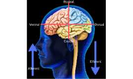 Brief Neuroanatomy for Language Development