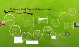 Copy of Spinach Leaf Pigment Separation By Sonya and Ally