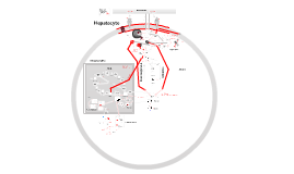 Hepatocyte Biochemistry