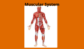 Copy of Muscular System