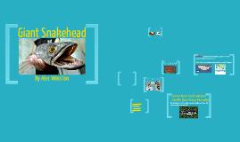 Giant Snakhead