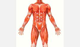 muscoli in generale