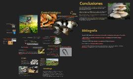 Copy of Control biológico mediante el uso de Pleurotus ostreatus com