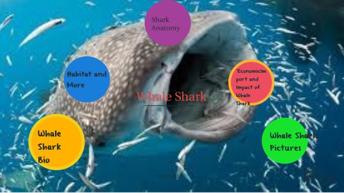 Whale Sharks By Dylan Watson On Prezi Next