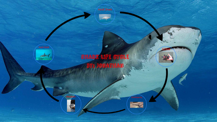 Life Cycle Of A Shark