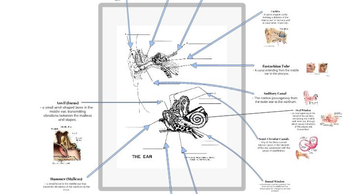 (ear 2) eye and ear diagrams - tatro - template by kelsi aspray on prezi
