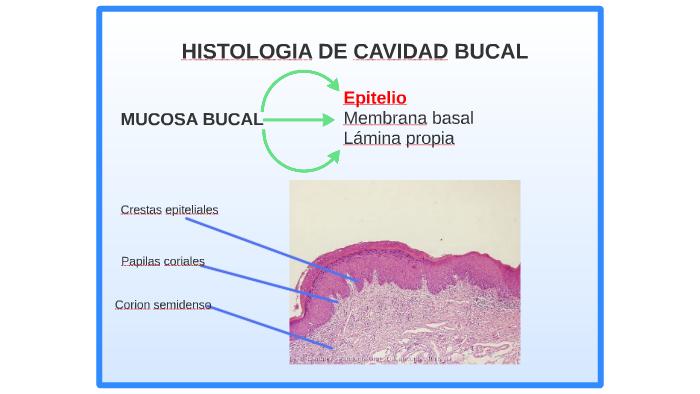 Histologia Cavidad Bucal By Ximena Cabrera On Prezi