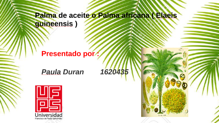 Morfologia De La Palma De Aceite O Palma Africana By Paula