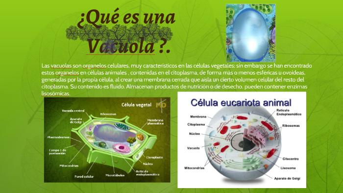 Vacuola Organelo De La Célula Animal Y Vegetal By