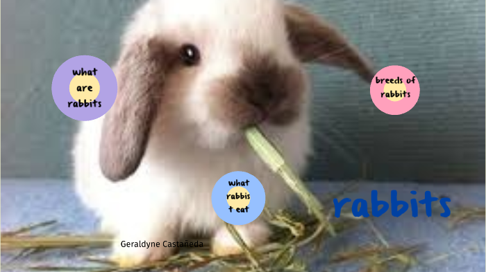 Rabbits By Normah Geraldyne Castaneda Rodriguez On Prezi Next