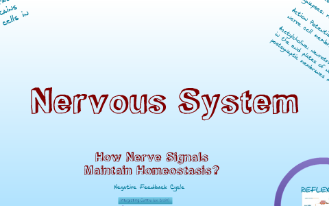 Maintaining Homeostasis Nervous System