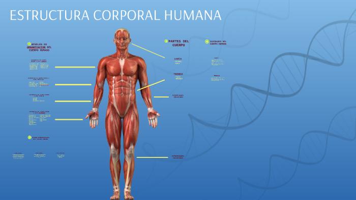 Estructura Corporal Humana By Maria Victoria Figueroa