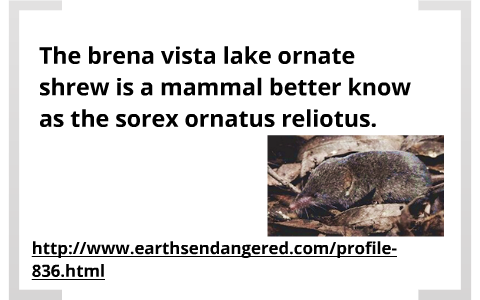 The buena vista lake ornate shrew] by Tay Howard on Prezi