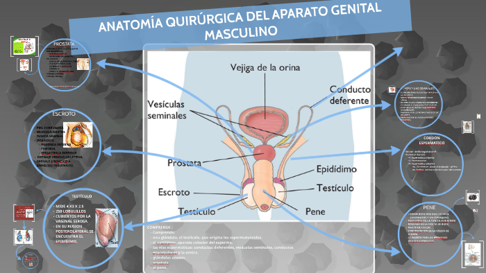 mcneal próstata anatomía 2