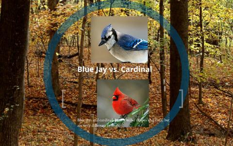 Blue Jay Vs Cardinal By Jared Rindler On Prezi