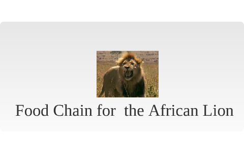 Food Chain Of An African Lion By Avrey Mccombs