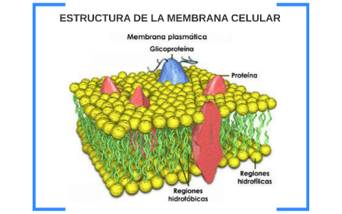 Estructura De La Membrana Celular By Yully Páez On Prezi